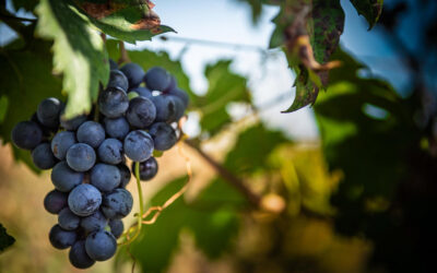 New (and Uncommon) Grapes in Town!